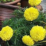 Marigold African Lemon Yellow 50 Seeds - Tagetes Erecta