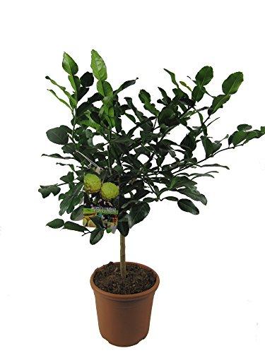Kaffir Limette - Kaffir Limettenbaum ca. 70 cm Gärtnerqualität