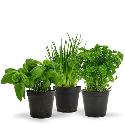 Major 3 Herbs Seeds Pack - Easy to Grow - Basil, Chives and Parsley by Seedscare India