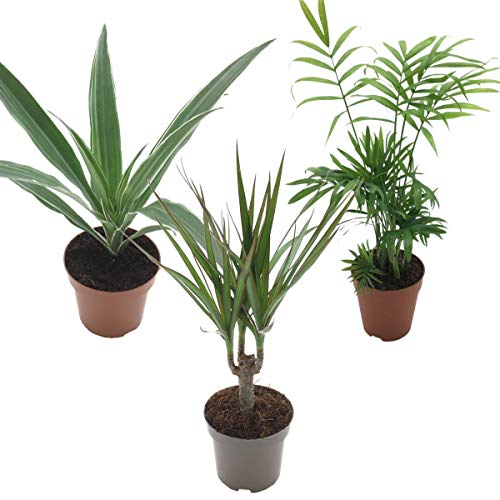 Zimmerpflanzenmix -2- Büropflanzen Grünpflanzen Mix