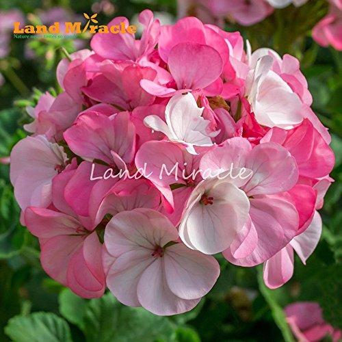 Rare mixte Rose Blanc Géranium, Graines 5 Graines, Bonsai Rose Pelargonium vivace Potted Graines de fleurs pour le jardin plante