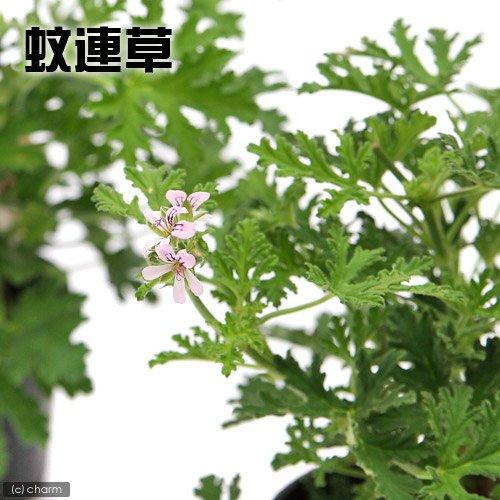 (観葉植物)ハーブ苗 カレンソウ(蚊連草) 3号(1ポット) 虫除け植物 家庭菜園