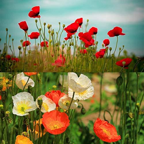 Kisshes Seeds- 100 Pcs Semillas de Amapola Semillas de Flores Flores Planta Semillas