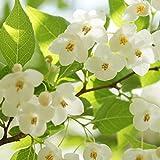 苗/苗木 エゴノキ 樹高1.0m前後 12cmポット えごのき エゴの木 白い清楚な花が、枝いっぱいに咲く木 苗木 植木 苗 庭木 生け垣 1本 1