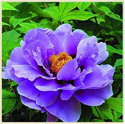 Strauch-pfingstrosen/Wohlhabende Blumenzwiebeln, attraktive, haltbare Pflanzen, Wohnzimmerdekorationen, Blumen sind selten-1 Zwiebeln,lila