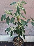 EUN Trademark Avocado Dwarf (Little Cado) Grafted Plants
