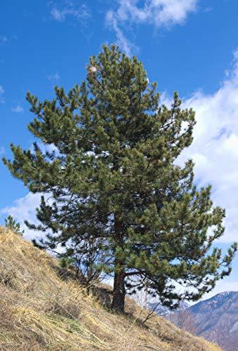 Seedeo® Zirbel-Kiefer/Zirbe (Pinus cembra) 25 Samen
