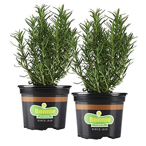 Kit de 2 Plantas de Romero Naturales en Maceta 10cm Plantas Aromáticas