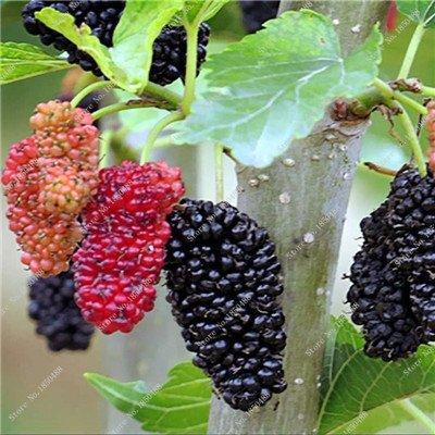 Bonsai framboise mûre graine noire Berry Blackberry vivace arbre plante délicieux Succulent Fruit meilleur cadeau pour enfant 400 Pcs 8