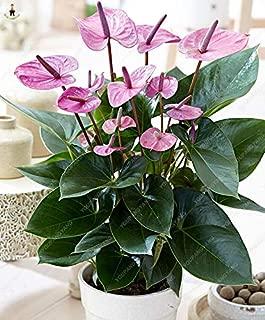 MAPPLEGREEN Big Sale 50pcs Flower Plants Anthurium Andraeanu plantas Balcony Potted DIY Planting Anthurium Bonsai for Home Garden Multi-Colored
