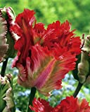 PLAT FIRM GERMINATIONSAMEN: Garten Feuer Papageien-Tulpe 10 Zwiebeln - EXOTIC - 12 / + cm Leuchtmittel
