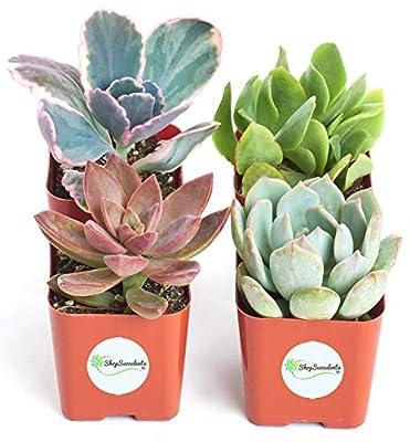 Shop Succulents   Premium Pastel Live Plants, Hand Selected Variety Pack Mini Succulents