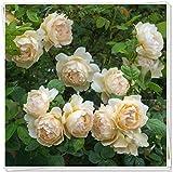 ラナンキュラス 球根&春に咲く秘密の庭の装飾花壇珍しい成長する強い活力-5球根
