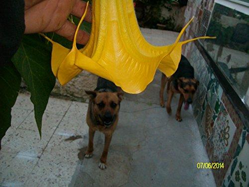 Brugmansia pumpkin yellow - gelbe Kürbis Engelstrompete - 5 Samen
