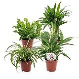 Mix 4 plantes purificatrices d'air | Areca, Chlorophytum, Asplenium, Spathiphyllum | Plantes d'interieur tropicales | Hauteur 25-30cm | Pots Ø 12cm