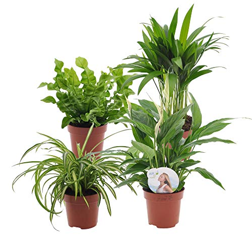 4er Set Luftreinigende Zimmerpflanzen | Vier Grünpflanzen | Höhe 25-30 cm | Topf-Ø 12 cm