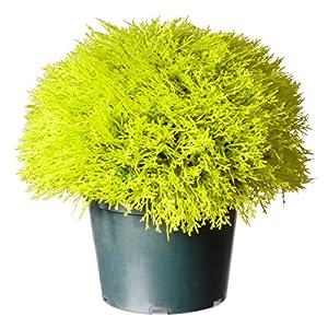 National Tree Company Artificial Shrub | Includes Pot Base | Golden Juniper Bush – 15 Inch