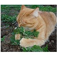 50 unids/set gato menta plantas aromáticas Catnip, semillas de hierba gatera, semillas semillas de hierbas aromáticas para el jardín de su casa