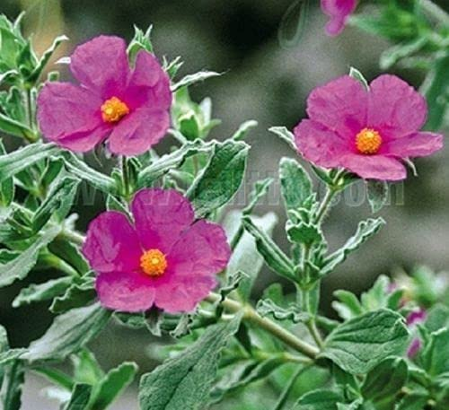 Elwyn Max 40% OFF 25pcs Tauric Cheap Rock Seeds Flower Rose