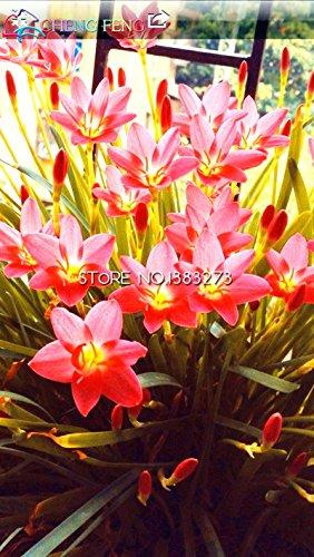 Légume balcon de semences graines de persil quatre grandes saisons peuvent pousser les graines de coriandre plantes Bonsai pour maison et jardin - 100 pcs K34