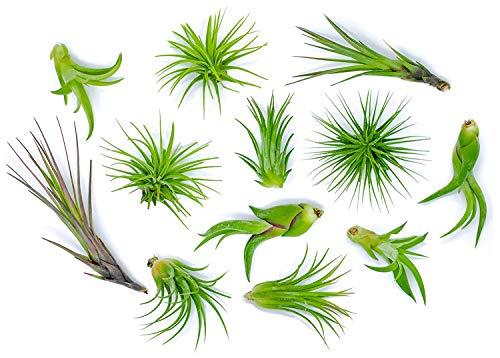 GETSO 12 pc/Sacchetto Tillandsia Bonsai Grandi impianti di Aria - Big Air Streptophylla Piante - Nizza Aria Plant - Colore & Form Varia con la Stagione