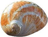 WANGSHAOFENG 13-15cm Adornos de Concha de cáscara de abalón Natural Grande Hecho a Mano DIY DIY Decoración de Acuario Materiales Conchas de mar para la decoración caracolas de mar Grandes