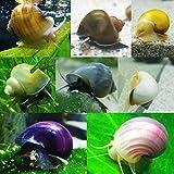 8 Mystery Snails! 8 Live Aquarium Snails - Purple,...