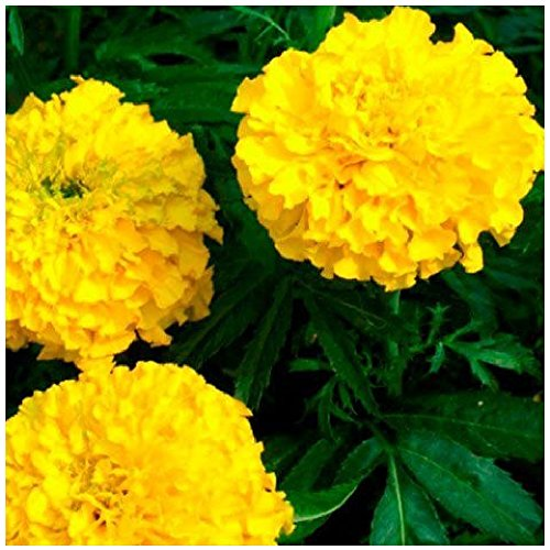 Lot de 100 graines de Tagète Rose d'Inde double élevée jaune - Smile - annuelle