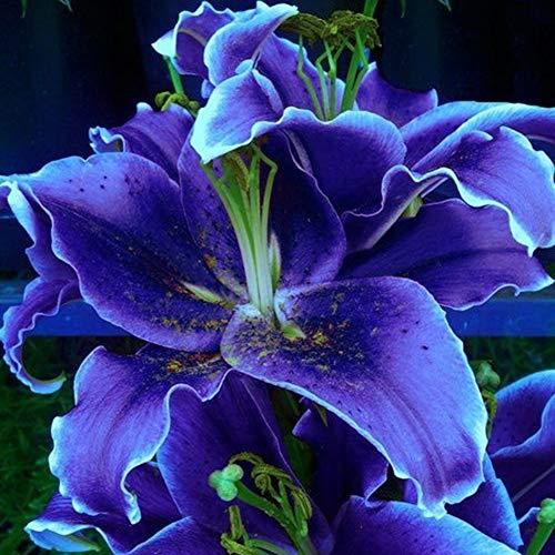 Yimosecoxiang Blumensamen Garten Dekor Pflanzen Samen 100Pcs seltene Lilien Zwiebeln Samen Home Garten Balkon Parfüm Blume Bonsai Pflanze - blaue Lilie Samen
