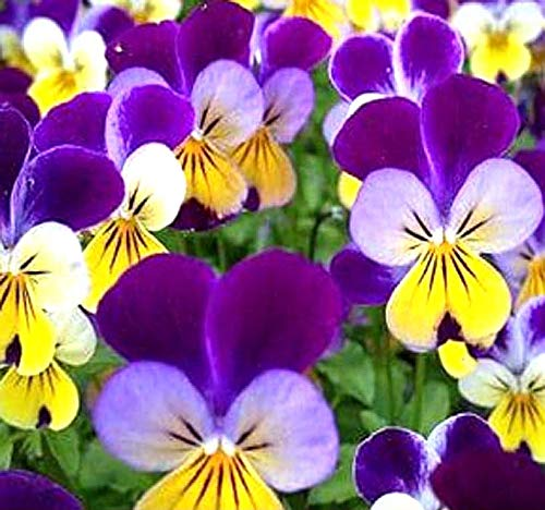 Violets with spring blooming flowers