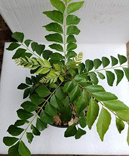 FERRY Bio-Saatgut Nicht nur Pflanzen: Curryblatt Murray koenigii hethy gut ausgesät in by