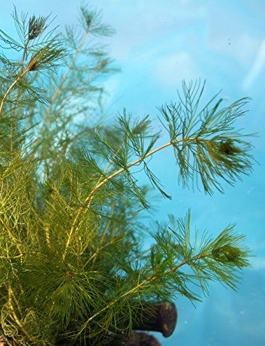 Wasserpflanzen Wolff - Myriophyllum spicatum - ähriges Tausendblatt - wasserreinigend!