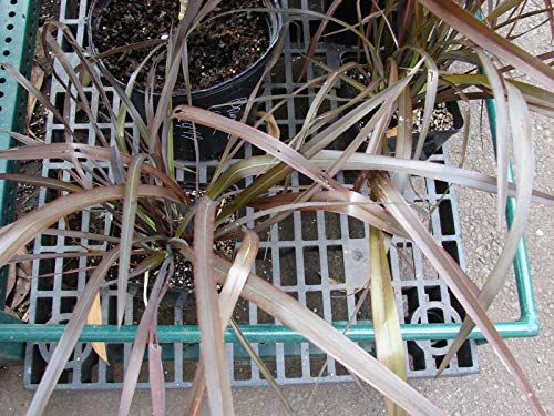 Phormium Tenax cv Purpureum - Nouvelle-Zélande de lin - 20 graines fraîches
