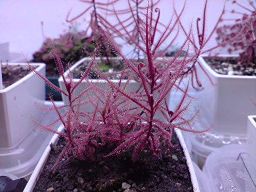 Drosera Hartmeyerorum ~ Sehr selten Fleisch fressende Sonnentau Pflanze ~ 5 Samen ~ Begrenzte