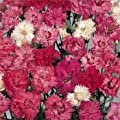 Outsidepride Dianthus Spring Beauty Seeds