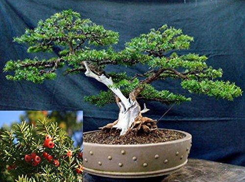 Japanische Eibe * Japanische Eibe * Japones Tejo * Evergreen Bonsai-Baum Frische Samen