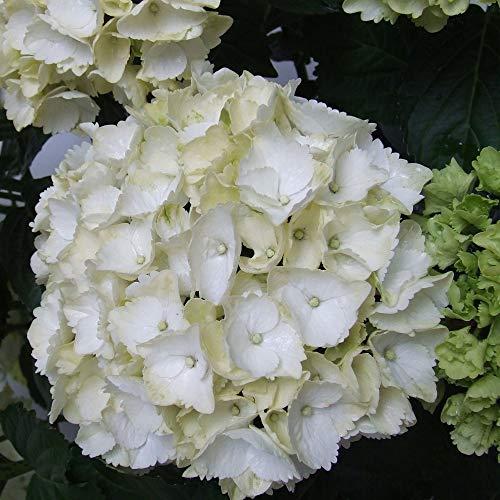 Hydrangea macrophylla | Weiße Hortensie...
