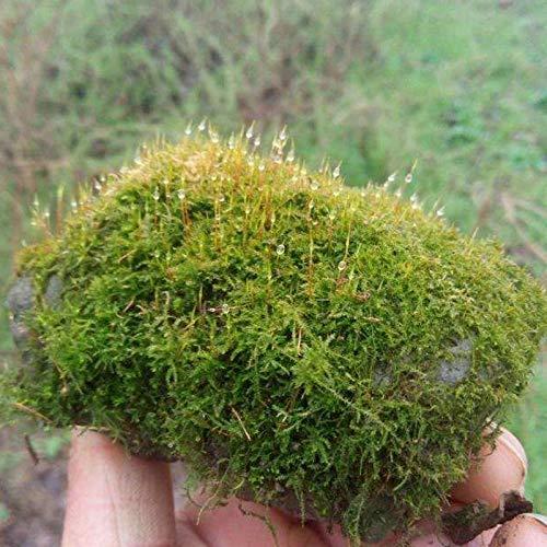 Semillas de plantas con cubierta de musgo100 + (briofita) Decoración Semillas de tierra de bonsai de rocalla Fácil de cultivar para el jardín de su casa Jardín al aire libre Plantación agrícola