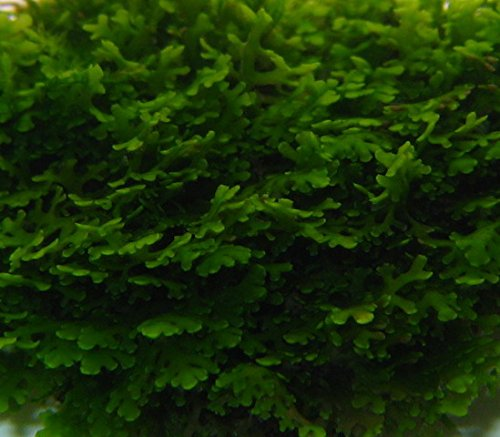 WFW wasserflora Mini Korallenmoos/Riccardia chamedryfolia auf Gitter - pad