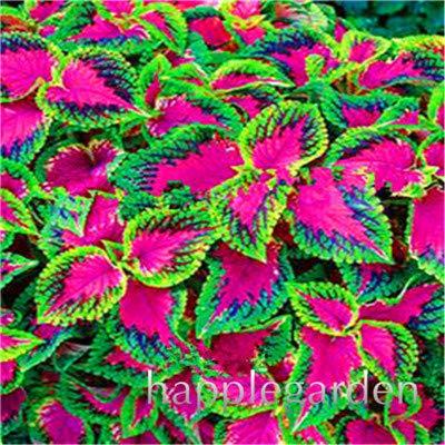 Bloom Green Co. 100 PC/bag Rare Coleus Blumei Bonsai, seltene Blumentopfpflanzen Begonia Pflanzen für Garten Balkon Coleus zum Verkauf: 1