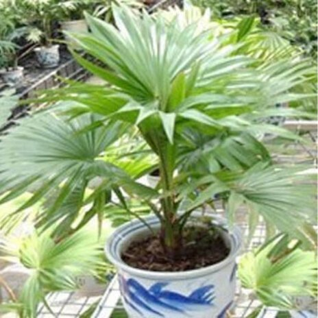 10 pcs / sac, graines Trachycarpus, graines en pot, graines de fleurs, variété complète, le taux de 95% en herbe, (couleurs mélangées)