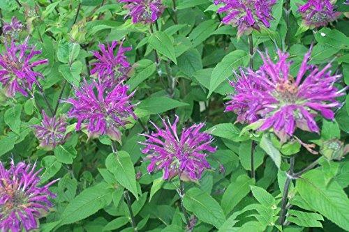 Portal Cool Monardo Bienenbalsam * Lila farbige mehrjährige Kolibri-Pflanze * 25 Samen