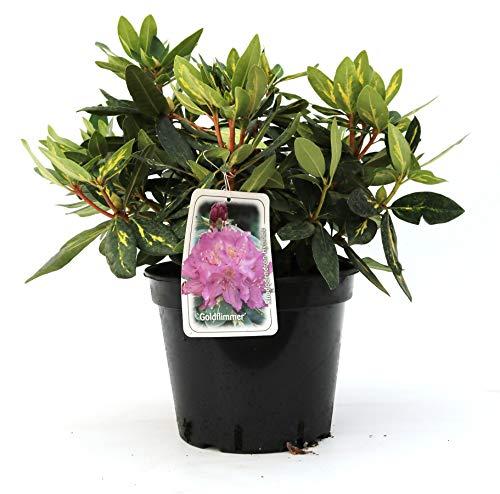 Rhododendron Hybride 'Goldflimmer' Buntlaubige Alpenrose 30-40cm im Topf gewachsen