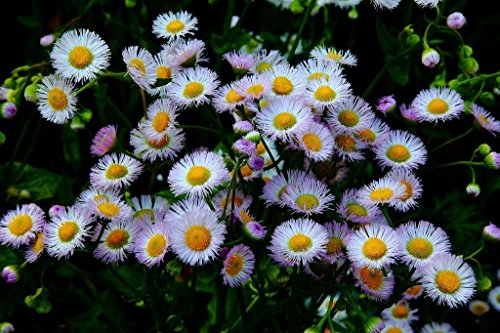 1000 seeds Fleabane daisy (Erigeron speciosus) - Easy to Grow