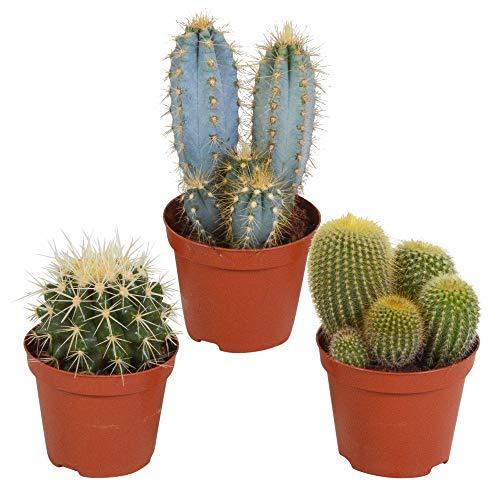 3er Set Kakteen Deko | Kaktus Zimmerpflanze | Kleine Kakteen | Höhe 11-20 cm | Topf-Ø 9 cm