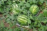 Alick 40 semillas de fruta de melón dulce de chirimoya gigante