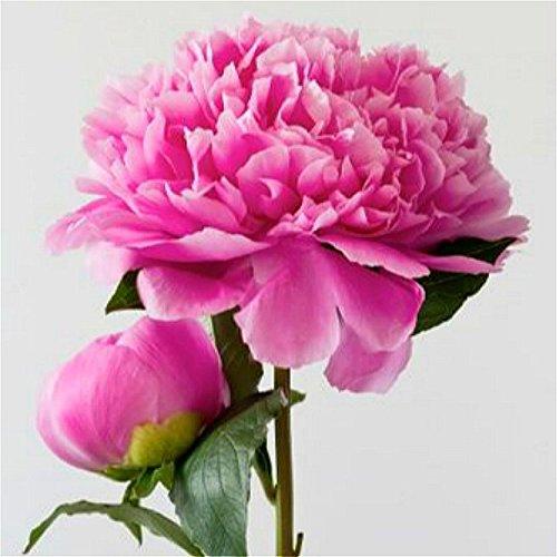 Sky Blue: 10 Pcs/Sac Pivoine Graines De Fleurs Chinois Belle Bonsai Arbre Plantes De Fleurs D'intérieur Des Semences Pour Balcon * Décoration De Jardin À La Maison