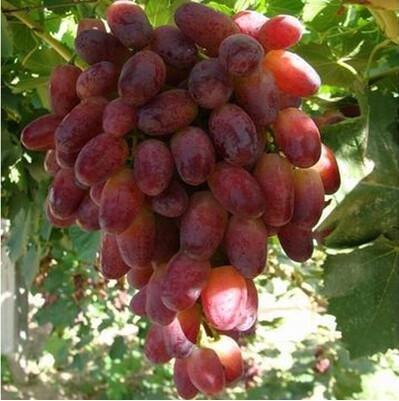 50 pcs/lot de raisin rouge doux Graines avancée Fruit graines croissance naturelle de raisin délicieux fruits jardinage plantes 9