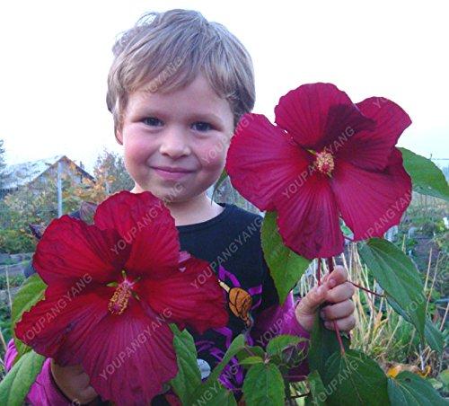100 Hibiscus Fleur Graines Hardy Diy jardin en pot ou le jardin de fleurs plante facile à cultiver, cadeau merveilleux pour les enfants