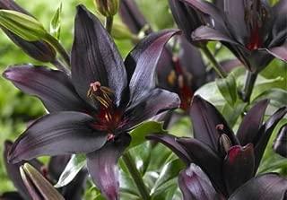Lilium Asiatic Lily Landini 4 Bulbs Perennial Dark Burgundy/Black Spring Planted